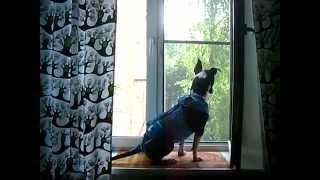 Собака офигевает над русской свадьбой (оле-ле-оле-оле)