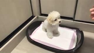 Cách huấn luyện cún đi vệ sinh/ Huấn luyện Cún c๐n poodle 'Co Mong' đi vệ sinh.
