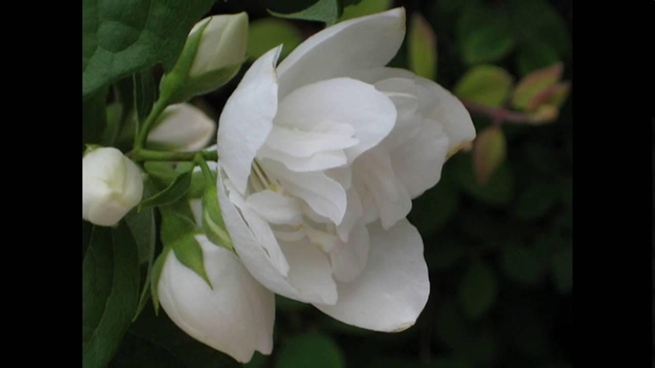 Gambar Bunga Melati Putih Tercantik YouTube