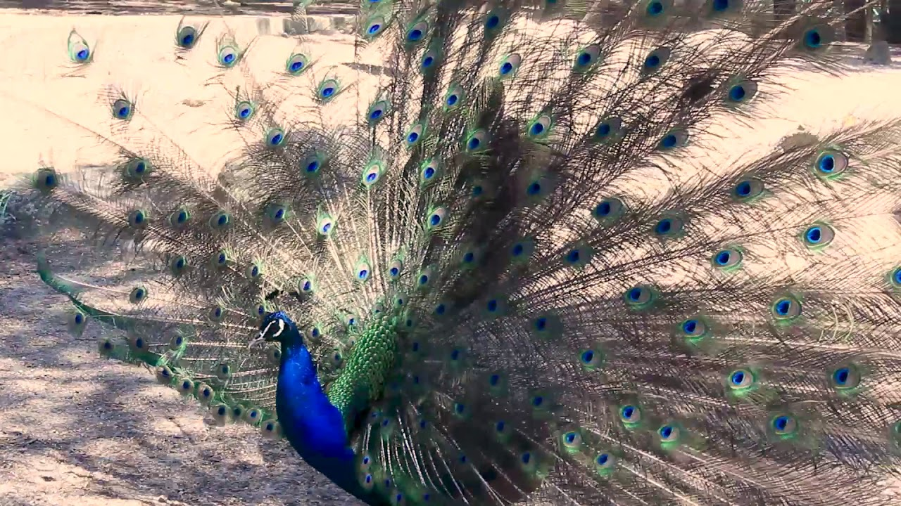 Peacock opens the feathers. Peacock's dance and scream in Plaka forest (Kos, Greece)