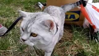 Шотландский Кот Гуляет на Природе!