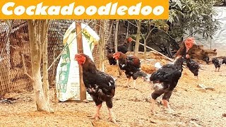 Farm Animals Cockadoodledoo Sound Funny Cocks in the Garden