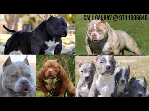 American Bully Puppies For Sale In Delhi Wholsale And Retail