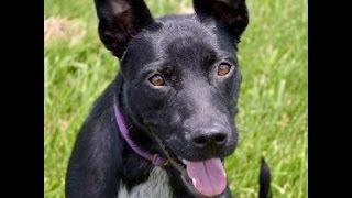 Tenesha- Australian Cattle Dog / Labrador Retriever Mix  With Rover Rescue