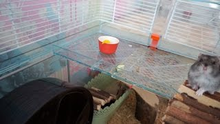 Hamster Updates   Pingu Is 2 Years Old Now!