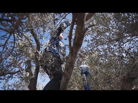 Focus - Malgré les attaques de colons, des Israéliens et Palestiniens unis pour la récolte des olives