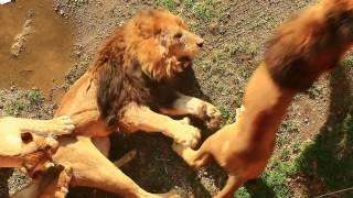 何度も噛みつくオスライオン Raging Lion.