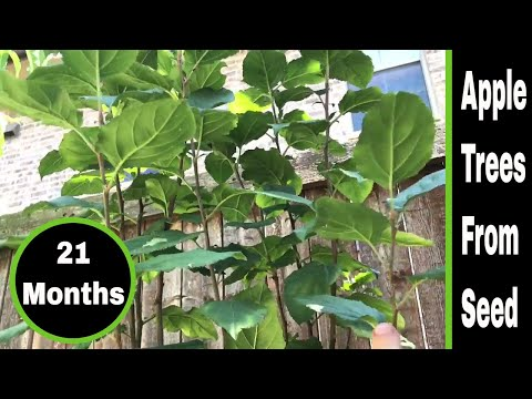 Growing Apple Trees From Seeds – 21 Months