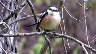 Video Masked shrike (Lanius nubicus)  Παρδαλοκεφαλάς - Cyprus download MP3, 3GP, MP4, WEBM, AVI, FLV Juli 2018