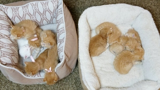 11 Kittens Playing: Cute Ginger Kitty Overload