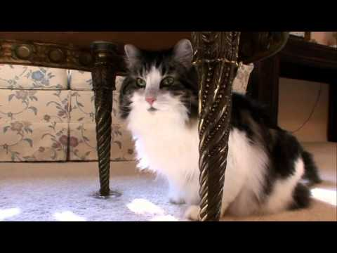 Cats 101 Animal Planet - Norweigan Forest Cat ** High Quality **