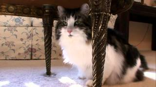 Cats 101 Animal Planet Norweigan Forest Cat High Quality