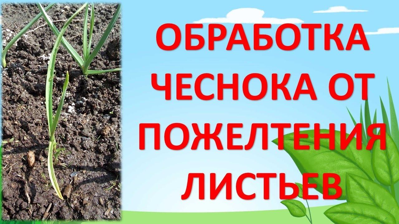 ОБРАБОТКА ЧЕСНОКА ОТ ПОЖЕЛТЕНИЯ ЛИСТЬЕВ. Как выращивать крупный чеснок. Желтеют листья на чесноке.