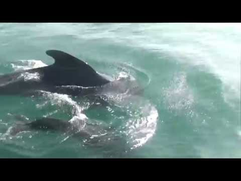 Pilot Whales Biscay Hallberg Rassy 42 Morgane of Sark