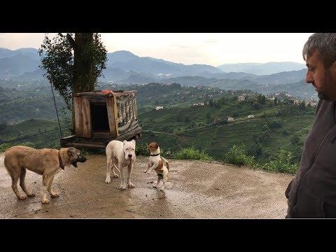 YENİ KÖPEĞİM ESCOBAR ARTIK ARAMIZDA :)) #dogoargentino #canecorso #kangal #malaklı #jackrussell