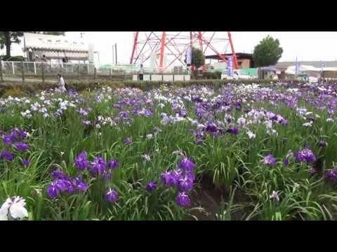 伊勢原「あやめ」まつり 2013 Isehara Iris sanguinea Festival in Kanagawa prefecture Japan.