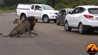 Lion Shows Tourists Why You Must Stay Inside Your Car   Latest Wildlife Sightings