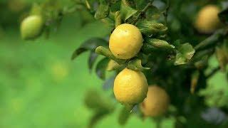 Co-Impact Sourcing  - Lemon