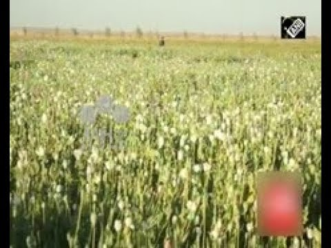 Afghan News (Nov 16, 2017) - UNODC survey finds opium production up by 87% this year IN Afghanistan