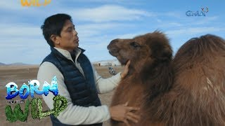Born to Be Wild: Doc Nielsen's close encounter with the Bactrian Camel