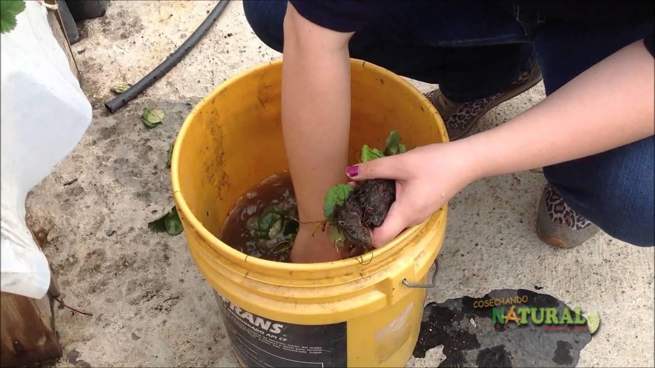 Cultivo de fresa en tubo de pvc youtube for Cultivo interior casero