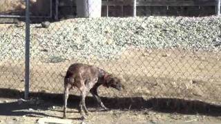 Fine Gait Of Rebel, My German Shorthair Pointer