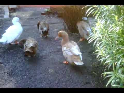 Preening Behaviour in Domestic Ducks