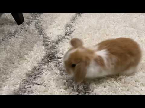 8 Week Old Holland Lop Floppy Eared Bunny Rabbits Cute Baby Animals