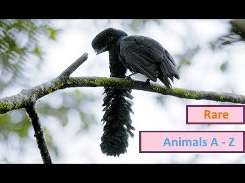 Umbrellabird, Long wattled Umbrellabird