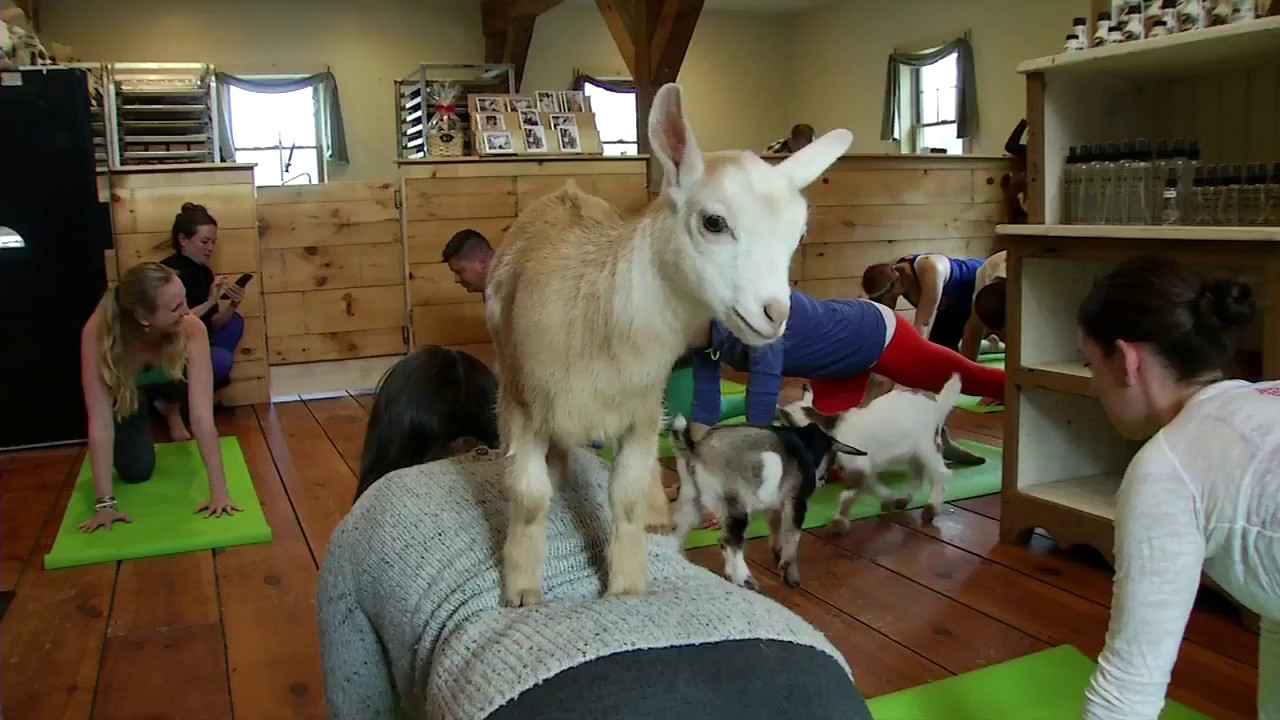 yoga w goats