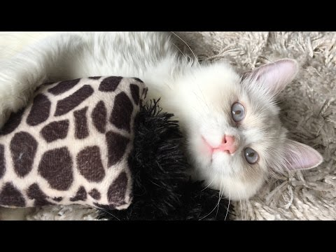 Ragdoll Kitten in 4K! Playful blue bi-color ragdoll cat with his toys