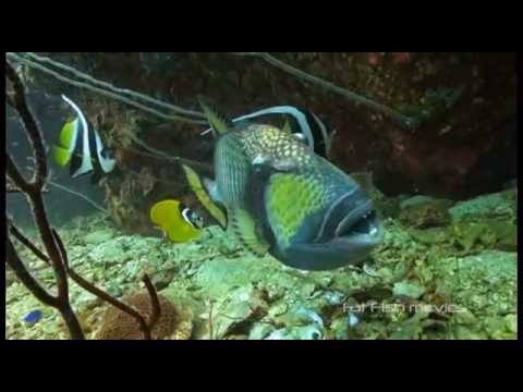 Angry Triggerfish Attack Compilation