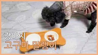 고구마 말랭이 먹는 강아지 간식먹방주의:많이먹음...)