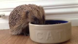 Video proof that hedgehogs can't read Thumbnail