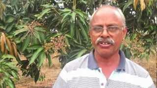 ZERO BUDGET NATURAL FARMING - S.V. RAMANA - Mango farm