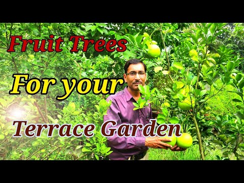 Growing Fruit Trees in Container or Pots in a Terrace Garden.