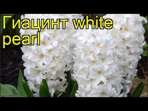 Гиацинт Белый Жемчуг. Краткий обзор, описание характеристик, где купить луковицы white pearl