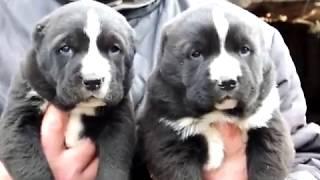 крупные щенки алабая-, среднеазиатская овчарка , продажа 8-9278137957 вайбер ватсап