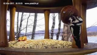 Trzy dzięcioły duże w karmniku dla ptaków nad Soliną HD