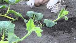 Grow Big Pumpkins - Vine Burying, Pollination, Vine Training