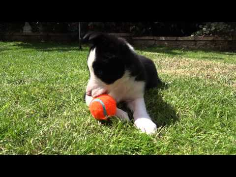 8 Week Old Border Collie Puppy