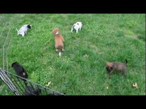 Rescue Pups - Adopted!  5 Weeks Old - Beagle Boston Terrier Doxi Mix?