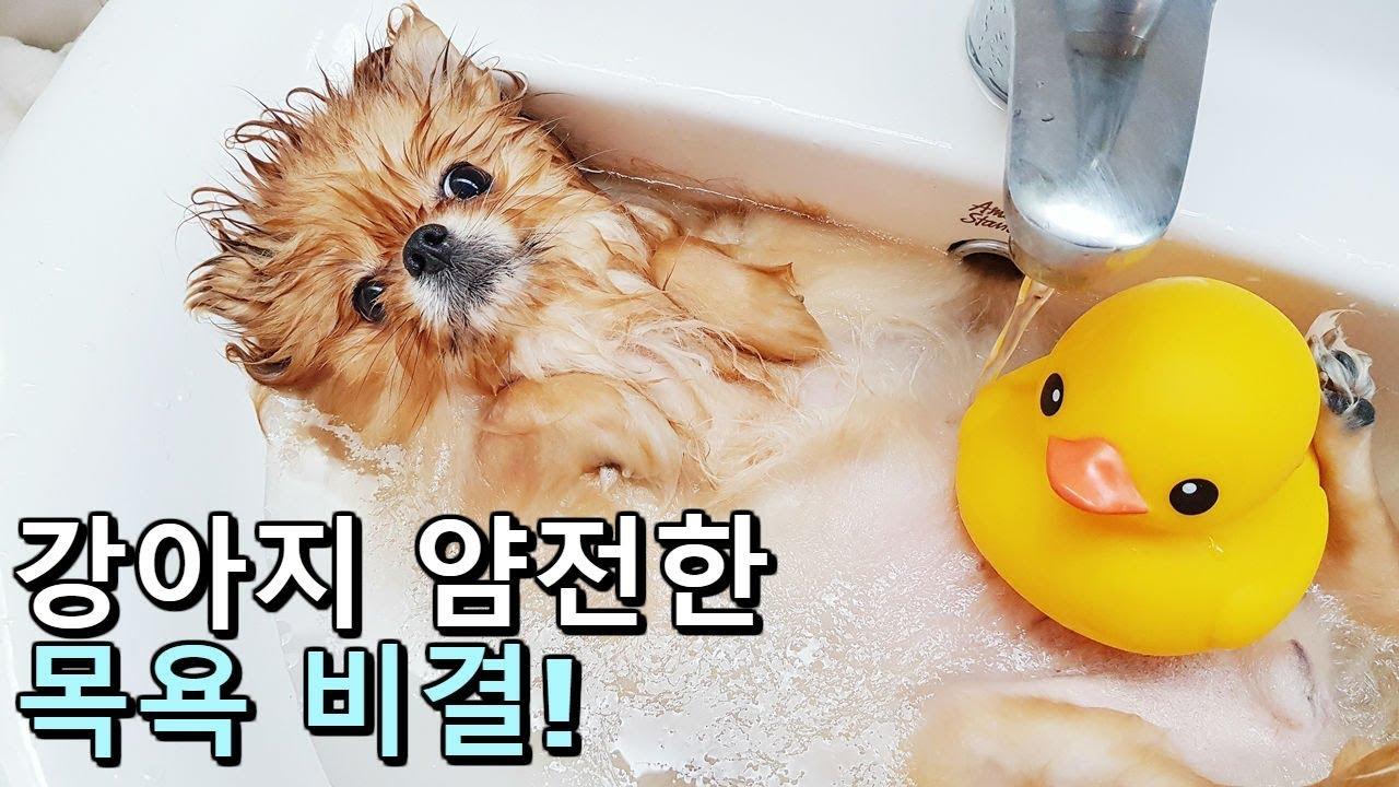 강아지 얌전한 목욕 비결 대방출