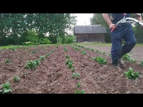 Окучивание картофеля. Роторный окучник на мотоблоке НЕВА. Hilling potatoes with a rotary hiller.