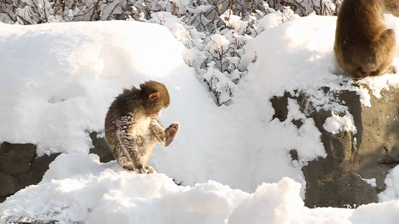 snow day for the snow monkeys at central park zoo youtube. Black Bedroom Furniture Sets. Home Design Ideas