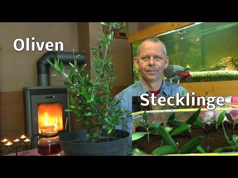 Oliven Durch Stecklinge Vermehren