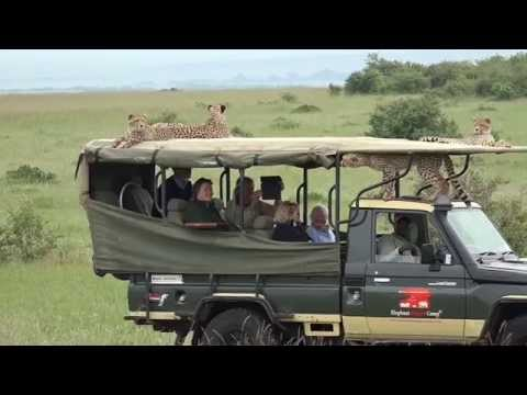 Cheetah jumps into a Safari Vehicle - Masai Mara - Kenya