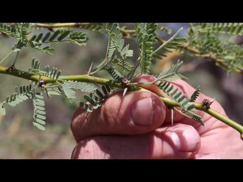 How to identify Mesquite - MVWAC