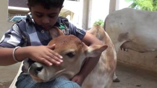Punganur Cow calf Playing with kids