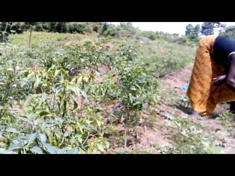 Irrigation goutte à goutte chez Génie Agricole 2